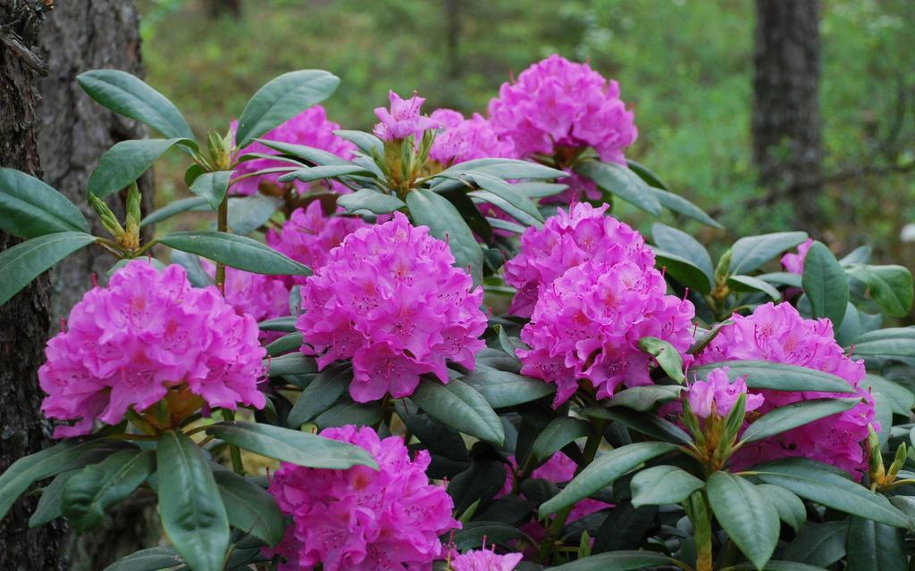 english roseum aka roseum pink rhododendrons direct. Black Bedroom Furniture Sets. Home Design Ideas
