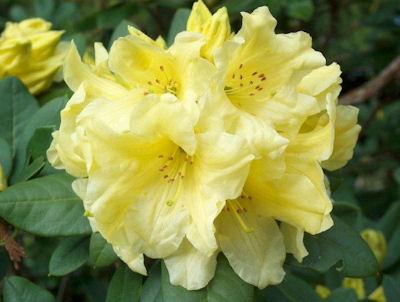 Hotei Bloom