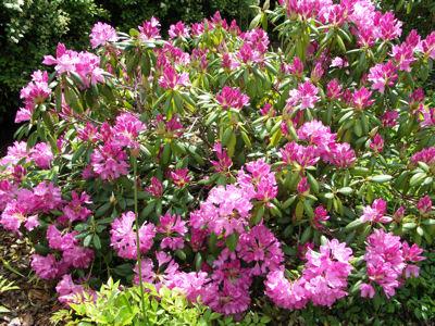 roseum elegans rhododendrons direct. Black Bedroom Furniture Sets. Home Design Ideas