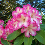 Award Wining Rhododendrons